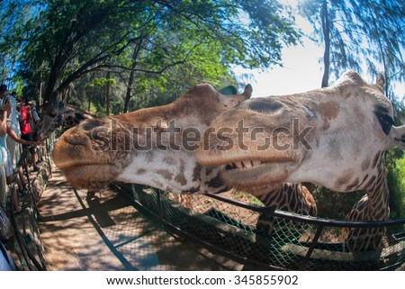 Wide angle of two giraffe at an unusual angle in a feeding enclosure - stock photo