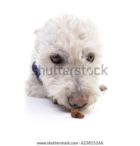Wide angle portrait of an adorable Poodle - studio shot, isolated on white.