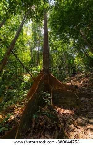 Wide angle view from below of the majestic tall trees with lush green canopy of the dense lowland rainforest in Lambir Hills National Park, Borneo, Malaysia. Backlight, highlight slightly blown out. - stock photo