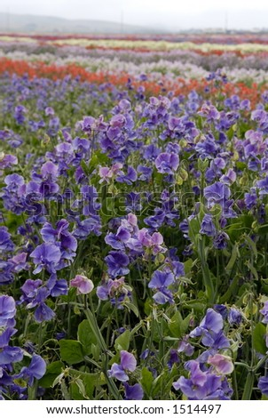 Wide angle view of a field of multi-colored sweet pea flowers. - stock photo