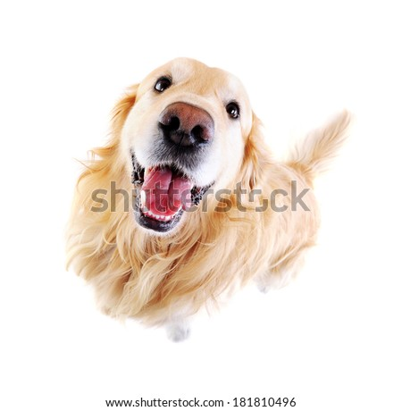 wide angle view of golden  retriever - stock photo