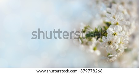 Wide background with beautiful apricot blossom in pastel tones for your designes with copyspace. Blurred bokeh and blue sky at the background. Image with small depth of field. - stock photo