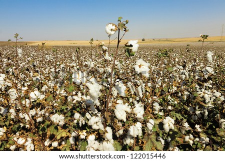 Wide cottons field with ripe cottons bush under blue sky - stock photo