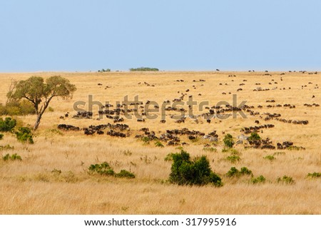 Wide grassland landscape of African savanna with wildebeest and zebra grazing, seasonally migrating for food. Wildlife observation and conservation, tourist safari, animals in the wild concept.  - stock photo