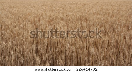 Wide horizontal frame of ripe wheat field ready for harvest