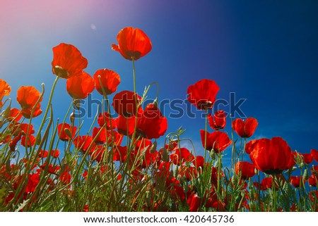 Wide meadow with rep poppies and white prairie flowers - stock photo