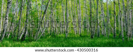 Wide panoramic beautiful summer landscape with forest and green grass. Birch forest. Birch Grove. White birch trunks. Spring sunny forest. - stock photo