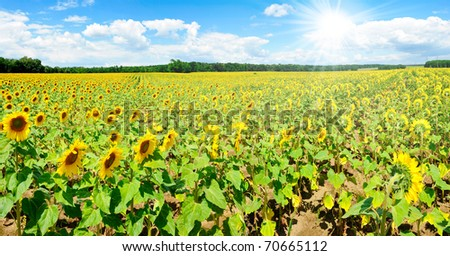 Wide panoramic photo of a beautiful sunflower field with sun in the southern Moravia, Czech Republic
