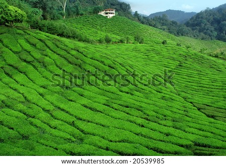 wide Tea Plantation - stock photo