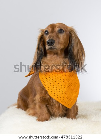 Wiener dog portrait. The breed is also known as the dachshund. The dog is wearing orange scarf, Image taken in a studio.