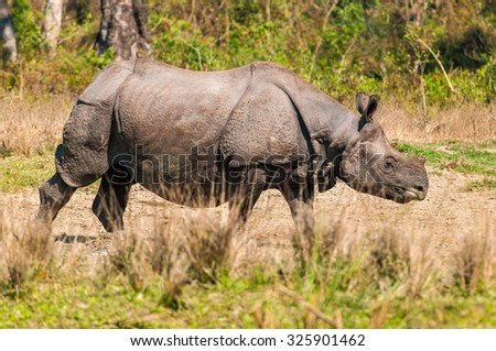Wild adult one horned rhinoceros in the grasslands at Jaldapara Wildlife Sanctuary.