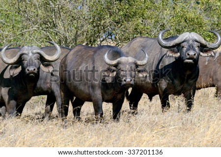 Wild African buffalo bull. Africa, Kenya - stock photo