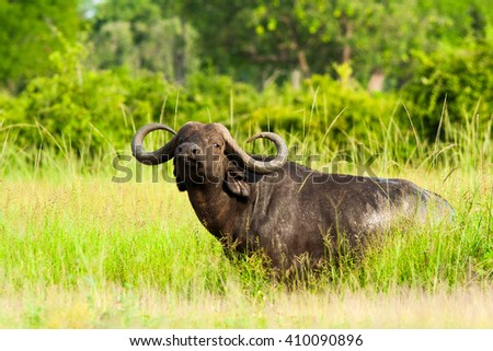 Wild African buffalo looking at the camera - stock photo