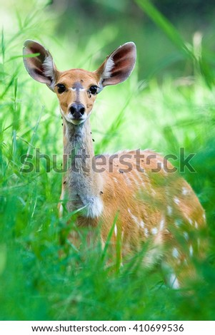 Wild African Bushbuck looking through tall green grass - stock photo