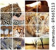 wild african cats collage - stock photo