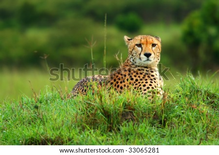 Wild african cheetah. Africa. Kenya. Masai Mara - stock photo