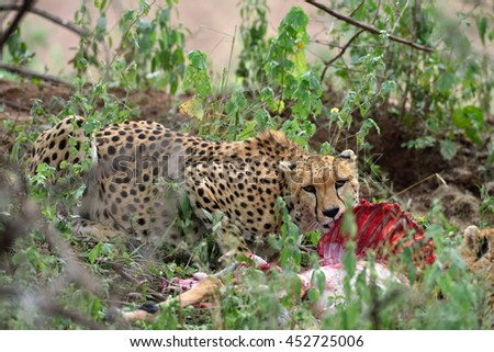 Wild african cheetah hiding with prey in the bushes - stock photo