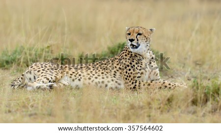 Wild african cheetah in National park of Kenya, Africa