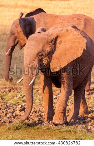 Wild African elephant drinking at a waterhole - stock photo