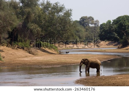 wild african elephant drinking at the riverbank, Kruger national park, South Africa - stock photo