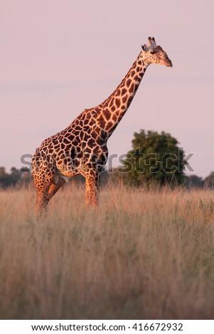 Wild African giraffe in an open savannah - stock photo