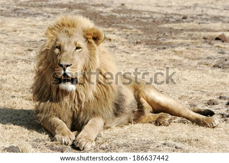 Wild african lion - stock photo