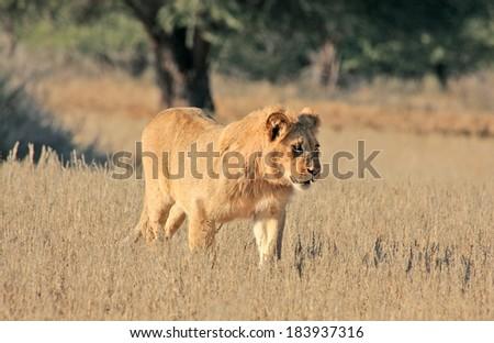 Wild African Lion in Kalahari desert  - stock photo