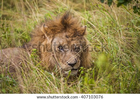 Wild African lion resting in the grass. - stock photo
