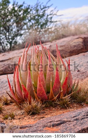 Wild aloe plant in the rocky African landscape - stock photo