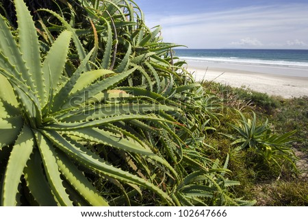 Wild Aloe Vera plant at the beach, New Zealand - stock photo