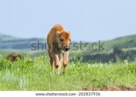 wild american buffalo calf  in the grasslands of South Dakota - stock photo