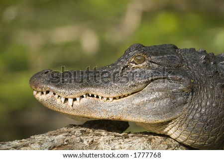 Wild American gator sunning on a log next on the river - stock photo