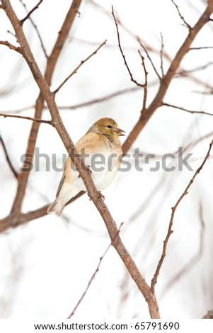 Wild American Goldfinch Male in Winter ( non-breeding ) Plumage in the Snow.  Bird is perched on a branch with little snow flakes on Feathers.  Bird's beak is open. - stock photo