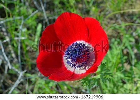 Wild Anemone flower(Anemone coronaria) in spring desert - stock photo