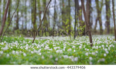 Wild Anemone flowers in the spring forest. Latvia - stock photo