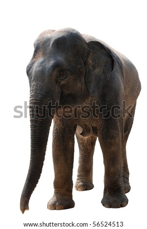 wild animal elephant isolated on white - stock photo