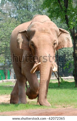 wild animal elephant on ground - stock photo