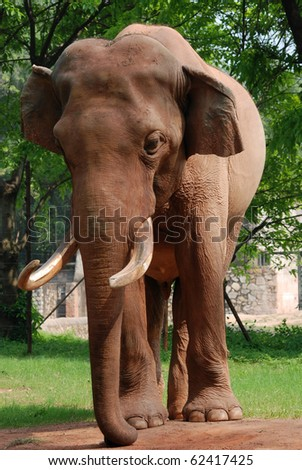 wild animal elephant on ground - stock photo
