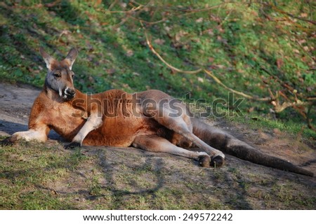 Wild animals . Wildlife. Life in the wild. Zoo. Pride. Africa . Kangaroo. Floc . Beautiful animals. Zoo in Holland. The sun. A family holiday. Love for animals. Beauty. Elegance. Australia  - stock photo