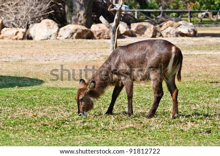 Wild antelope taken on a sunny afternoon, can be use for various wild animal design concept and print outs. - stock photo