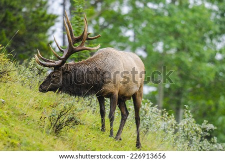 Wild Antlered bull elk during rutting season, Banff National Park Alberta Canada