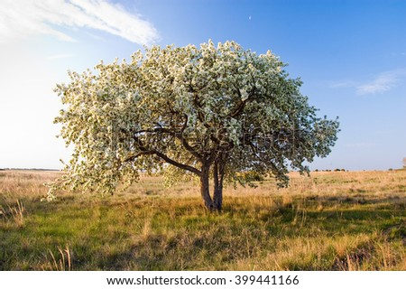 Wild apple tree spring blossoming
