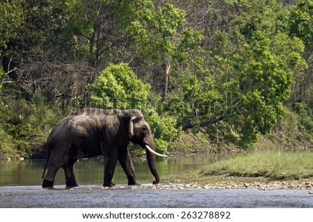 Wild asian elephant in Bardia, Nepal ; specie Elephas maximus  - stock photo