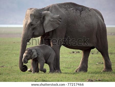 Wild Asian elephant mother and baby, Corbett National Park, India - stock photo