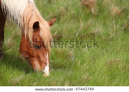 Wild Assateague Island pony - stock photo