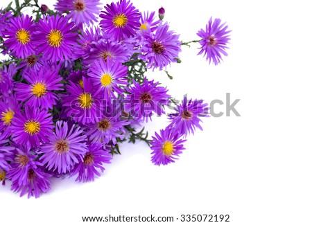 Wild asters on white background. Michaelmas daisies (Symphyotrichum novi-belgii or New York aster, Aster Alpinus).  - stock photo