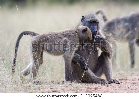 Wild Baboons grooming and eating fruit in the Kruger National Park, South Africa - stock photo