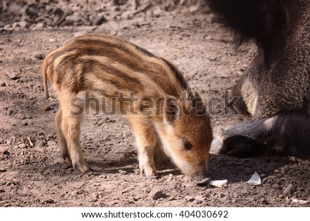 wild baby boar in forest free life