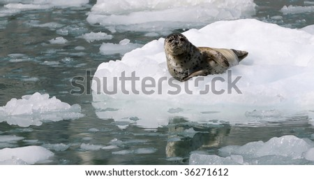 Wild baby seal rests on the ice in Kenai Fjords National Park, Seward, Alaska