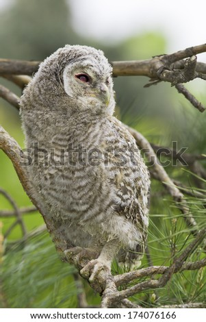 Wild baby Tawny owl sitting on a branch / Strix aluco - stock photo